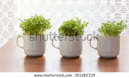 Fresh watercress or cress growing in small cups at home.