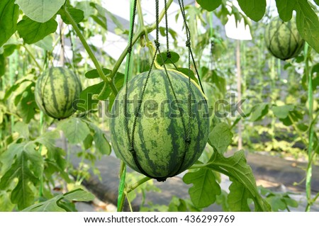 Fresh watermelon hanging with mesh on tree in the plantation. - stock photo