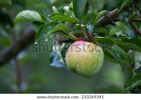 fresh wet apple on a appletree - stock photo