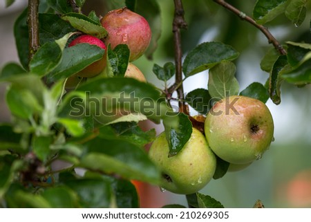 fresh wet apples on a appletree - stock photo