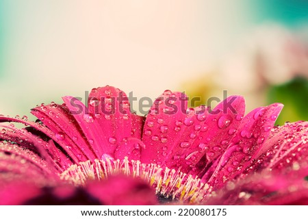 Fresh wet gerbera flower close-up at spring. Great as vintage background or retro greeting card for Valentines day, Mothers day, birthday etc. - stock photo