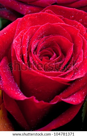 fresh wet red rose close up - stock photo