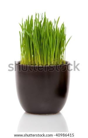 Fresh wheatgrass in a decorative pot on white background