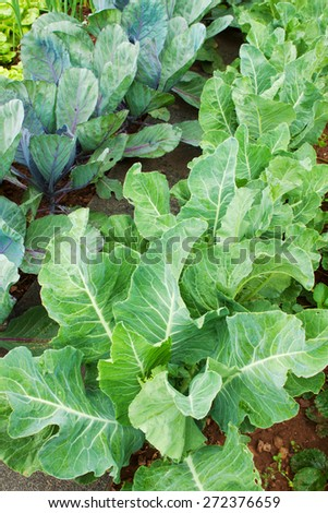 Fresh white cabbages in the summer garden grow. - stock photo