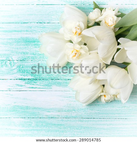 Fresh white tulips and daffodils  on turquoise painted planks. Selective focus. Place for text. Square image. - stock photo