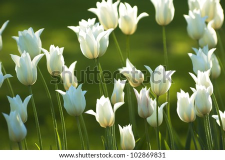 Fresh White Tulips Sunny - stock photo