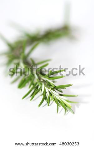 fresh wild rosemary isolated on white - stock photo