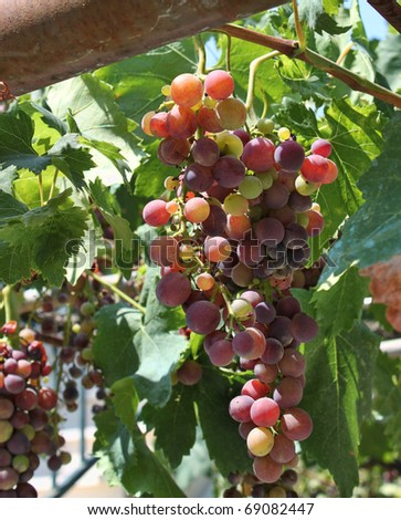 Fresh wine grapes growing in vineyard garden - stock photo