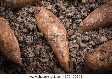 Fresh yacon root on the black soil - stock photo