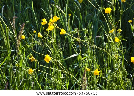 fresh yellow buttercup  on the field in harmony with dew - stock photo