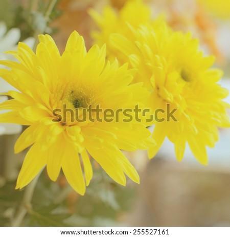 Fresh yellow flower background , beautiful nature concept - stock photo