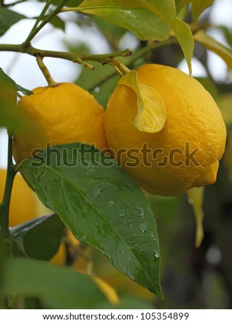 fresh yellow lemons with raindrops on tree