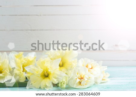 Fresh yellow narcissus in ray of light on turquoise painted wooden planks against white wall. Selective focus. Place for text - stock photo