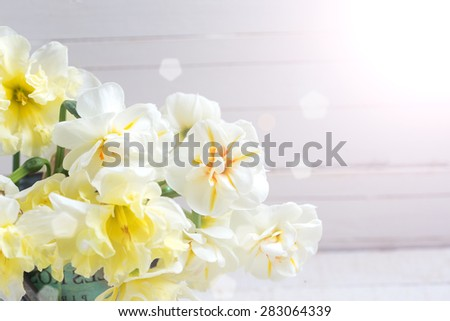 Fresh yellow narcissus in ray of light  on white painted wooden background. Selective focus. Place for text.