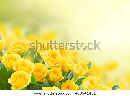 fresh yellow roses in green sunny garden - stock photo