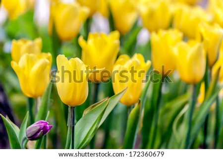 fresh yellow tulips in garden close up