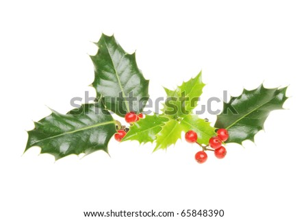 Fresh young and mature holly leaves with ripe red berries isolated on white - stock photo