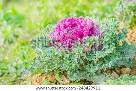 Fresh young organic collard greens,red cabbage garden - stock photo