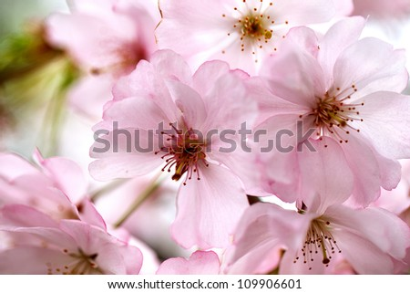 Freshly bloomed cherry tree on a sunny spring day - stock photo