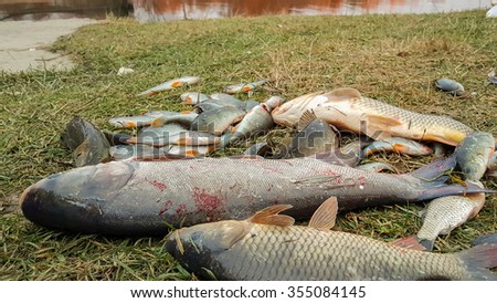 Freshly caught fish, carp, perch. Catch fisherman. Fisherman caught fish.Fish in grass. - stock photo