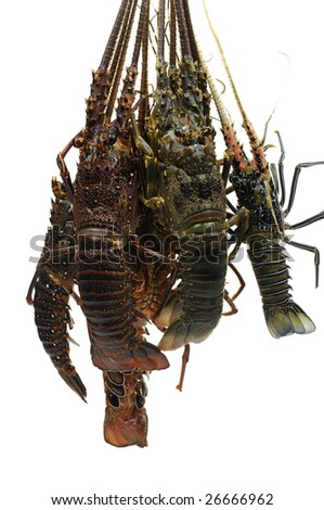 Freshly caught lobsters - stock photo