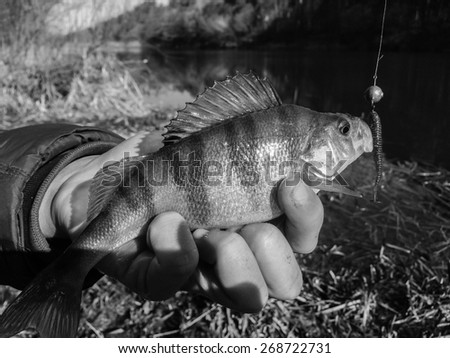 Freshly caught perch in the hands of the fisherman. Fishing, leisure. Fish caught on silicon bait. - stock photo