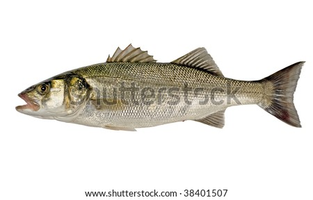 Freshly Caught Sea Bass Fish (Dicentrarchus labrax) Isolated on White Background - stock photo