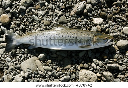 Freshly caught trout lying on the riverbank