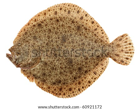 Flat fish stock images royalty free images vectors for Turbot fish price