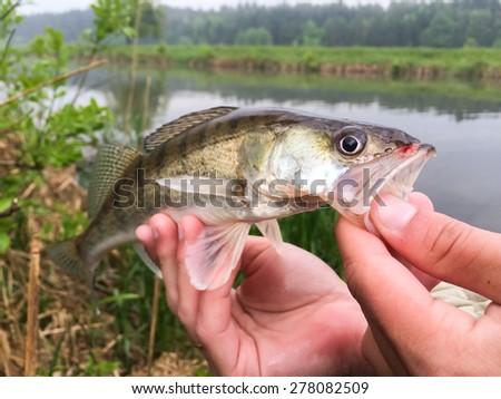 Freshly caught zander. Catch fisherman. Fisherman caught zander.Zander in hand. - stock photo
