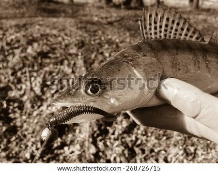 Freshly caught zander in the hands of the fisherman. - stock photo