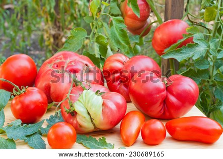 Freshly collected malformed tomatoes. - stock photo