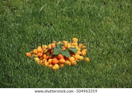 Freshly collected ripe apricots scattering with an apricot branch on the mown lawn