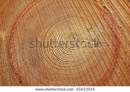 Freshly cut tree trunk - stock photo