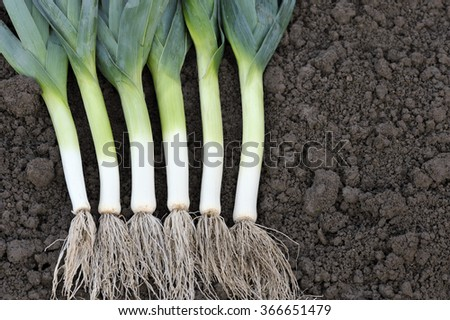 Freshly dug and washed leeks in a vegetable garden. - stock photo