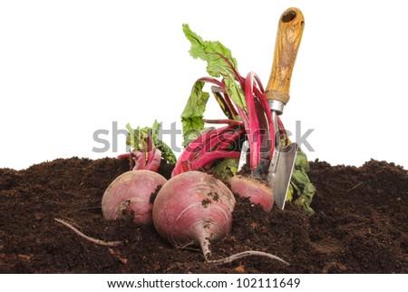 Freshly dug beetroot in soil with a garden trowel - stock photo