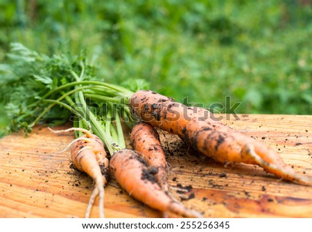 Freshly dug carrots on the wooden cutting board