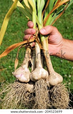 Freshly dug garlic plants - stock photo