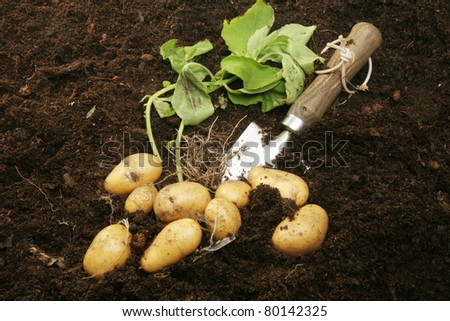 Freshly dug new potatoes with roots and foliage in soil with a garden trowel - stock photo