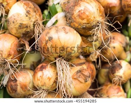 Freshly dug onion bulbs (Allium cepa). Close up. - stock photo