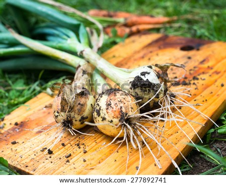 Freshly dug onion bulbs on the wooden cutting board - stock photo