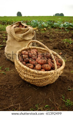 Freshly dug potatoes in a basket and burlap bag - stock photo