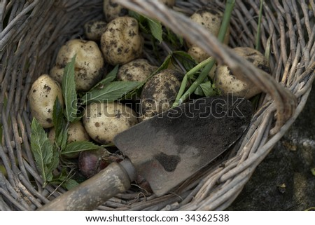 Freshly dug potatoes, mint and an onion in a basket - stock photo