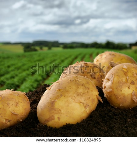 Freshly dug potatoes on a field - stock photo