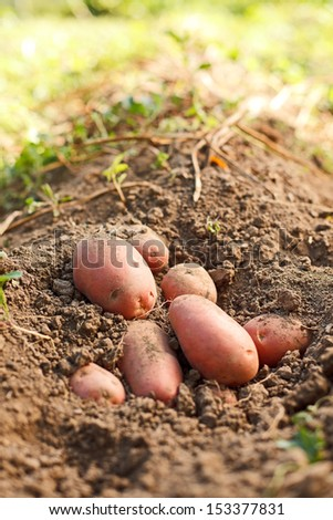 Freshly dug red potatoes in soil