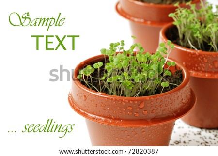Freshly germinated oregano seedlings in tiny 2 inch starter pots with seeds sprinkled on white background.  Macro with extremely shallow dof. - stock photo