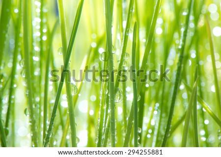 Freshly grown organic Wheatgrass - stock photo