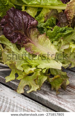 Freshly harvest Lola Rosa lettuce, mustard greens, buttercrunch, and assorted lettuce on an old barn wood table - stock photo