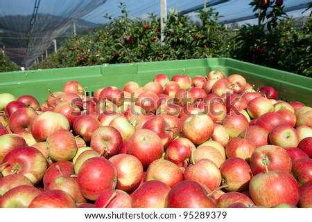 Freshly harvested Apples, Apple Trees in the Background - stock photo