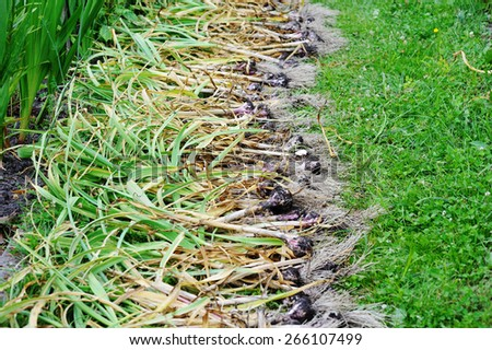 freshly harvested garlic on the green grass - stock photo